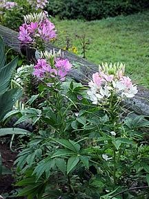 Cleome Royal Queen Mix A pretty mix that can include cherry