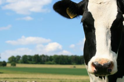 I Grew Up On A Holstein Dairy Farm And Love Them