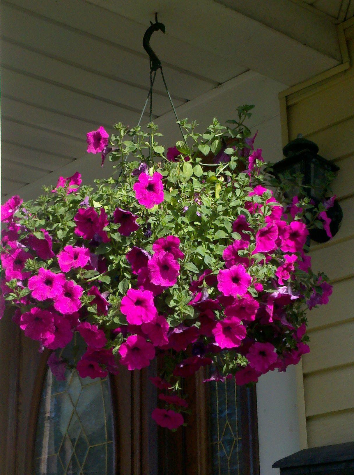 Hanging petunia