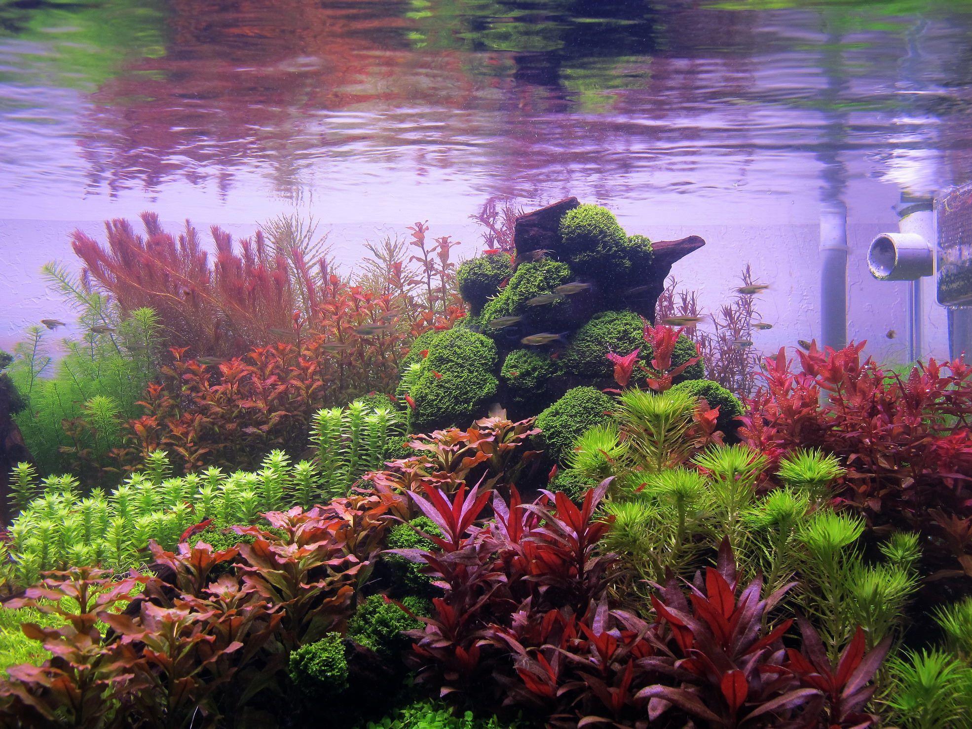 120 Gallonen Holländer etwas oder eine andere Gepflanzt Aquarium Pflanzen… H Lan