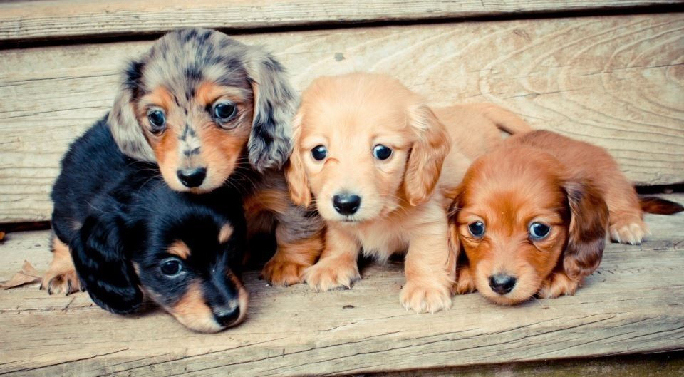 Baby Doxies Dachshund Puppies Puppies Dachshund Puppy Funny