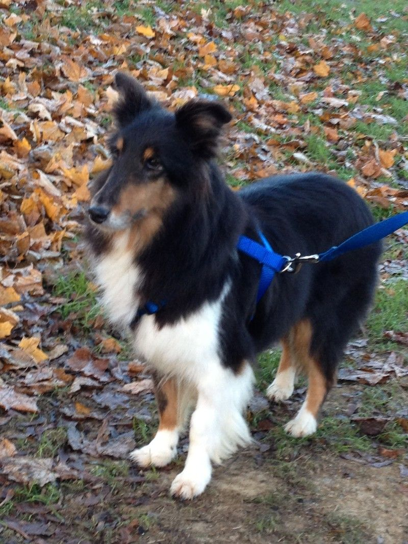 Sophie Is An Adoptable Senior Shetland Sheepdog Sheltie With