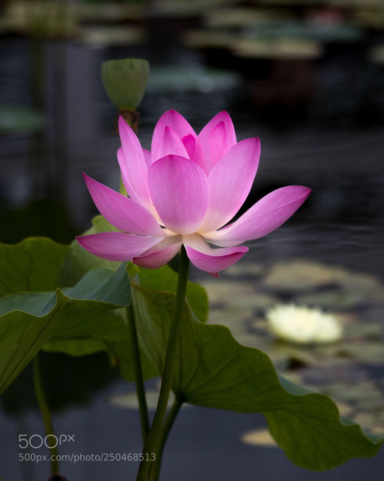 Blooming lotus by sunj99 my favorite flowers pinterest lotus blooming lotus by sunj99 izmirmasajfo