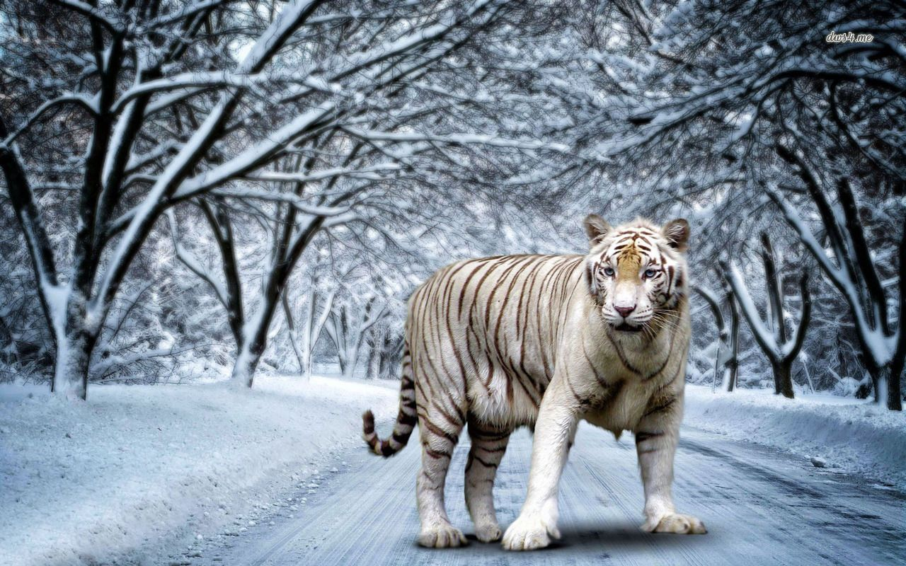 Royal bengal tiger is a great wallpaper for your computer desktop and - Find This Pin And More On Desktop By Otitbcom Best 35 Bengal Tiger Pictures And Wallpapers