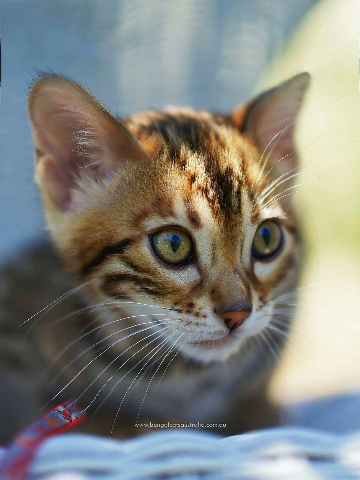 Bengal Cats Australia. Breeding Bengal cats since 2009. We ...