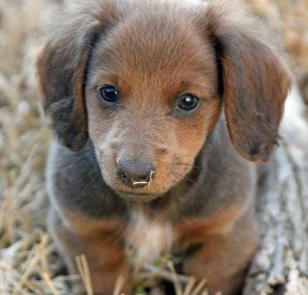 mini dachshund with husky markings | Summer the Miniature ...