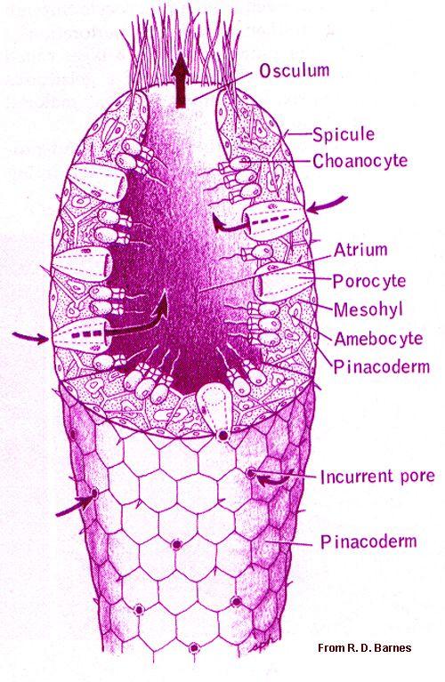Sponge   Phylum Porifera   Pinterest