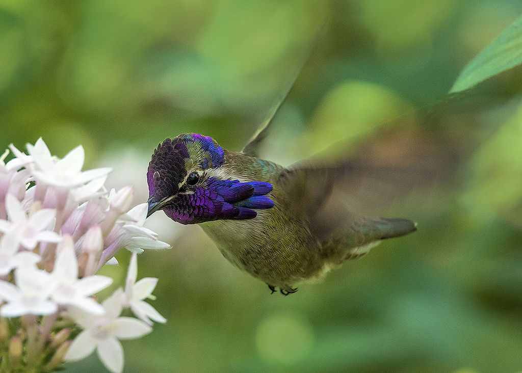 Costa's Hummingbird in flight feeding on Pentas lanceolata, Wings of the Tropics, Fairchild Tropical Botanic Garden.