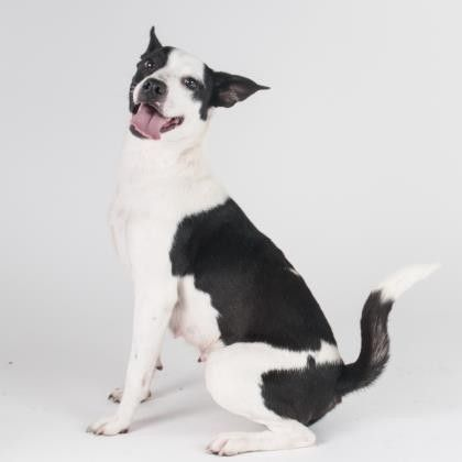 Dogs Adoption Cattle Dog Dogs And Puppies