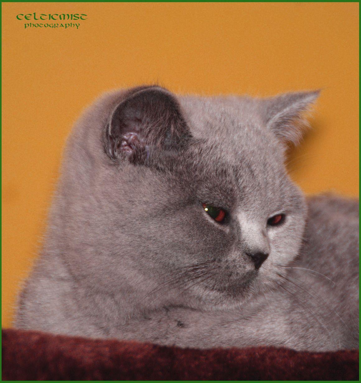 Gaya Brylantowa Elita 5 Months Old British Shorthair Gir Celticmist Cattery Cattery British Shorthair Cat Pics