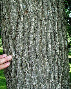 Nyssa Sylvatica Fact Sheet Florida Trees Tree Identification Trees And Shrubs