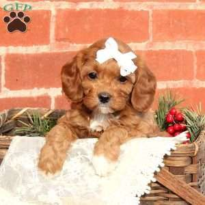 Cavapoo Puppies For Sale Cavapoo Dog Breed Info Greenfield Puppies Cavapoo Puppies For Sale Cavapoo Puppies Cavapoo