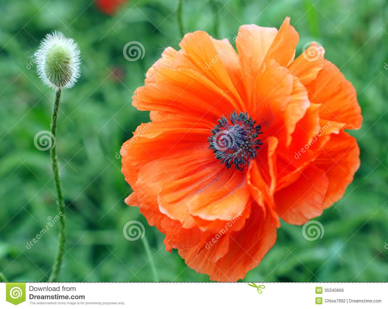 Poppy orange google search tattoo final inspiration pics for poppy orange google search dhlflorist Images