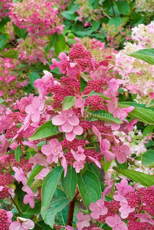 Hydrangea Paniculata Fire And Ice Aka Wim S Red In Summer Hydrangea Paniculata Flower Stock Photography Planting Flowers