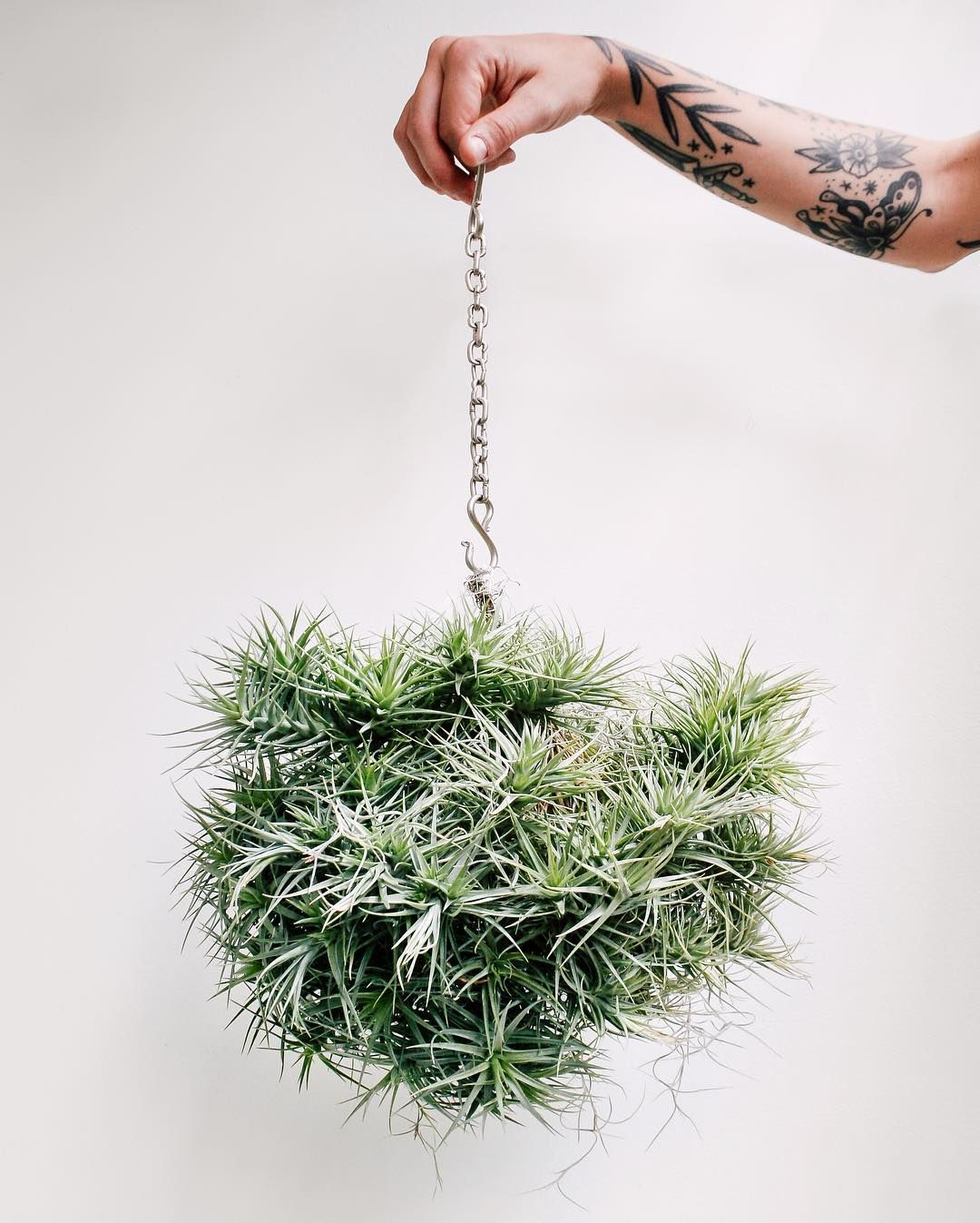 Tillandsia chandelier air plants are such fun planties air plants are such fun planties pinterest air plants chandeliers and plants aloadofball Images