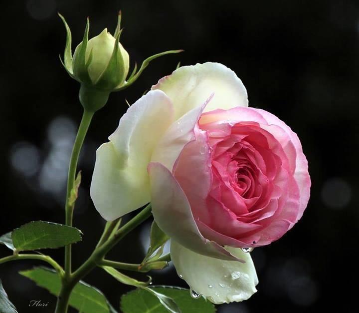 rosa e seu botão