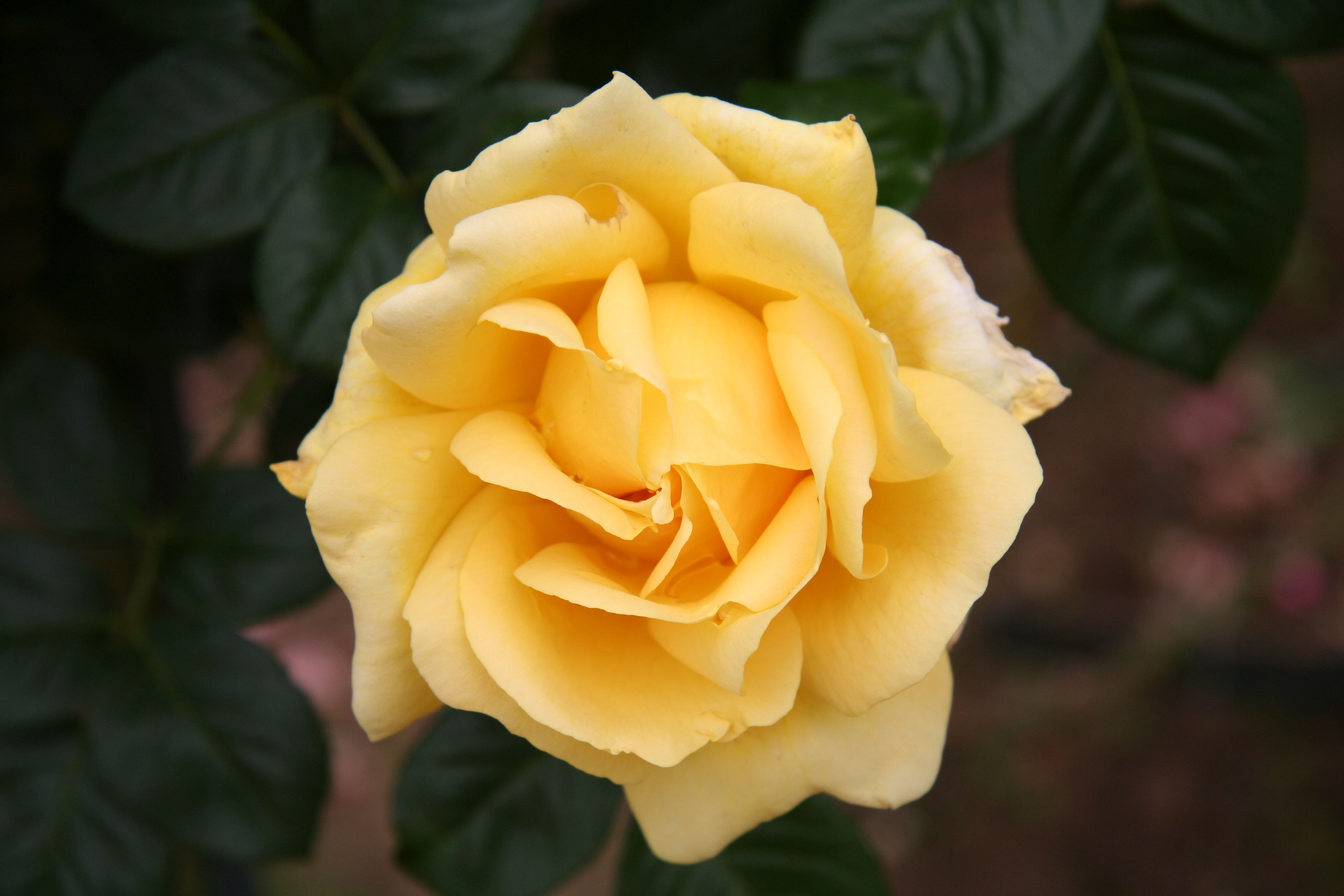 List Of Rose Cultivars Named After People Wikipedia The Free Beautiful Roses Yellow Roses Beautiful Flowers