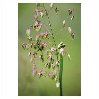 Briza media 'Limouzi' - Quaking Grass - GAP Photos - Specialising in horticultural photography
