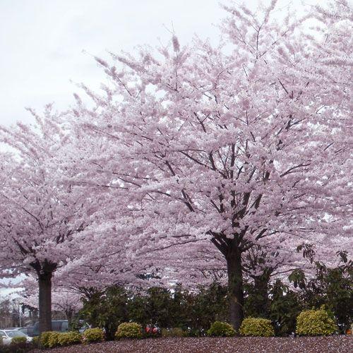 All Season Plants Cherry Trees Garden Season Plants Cherry Blossom Tree