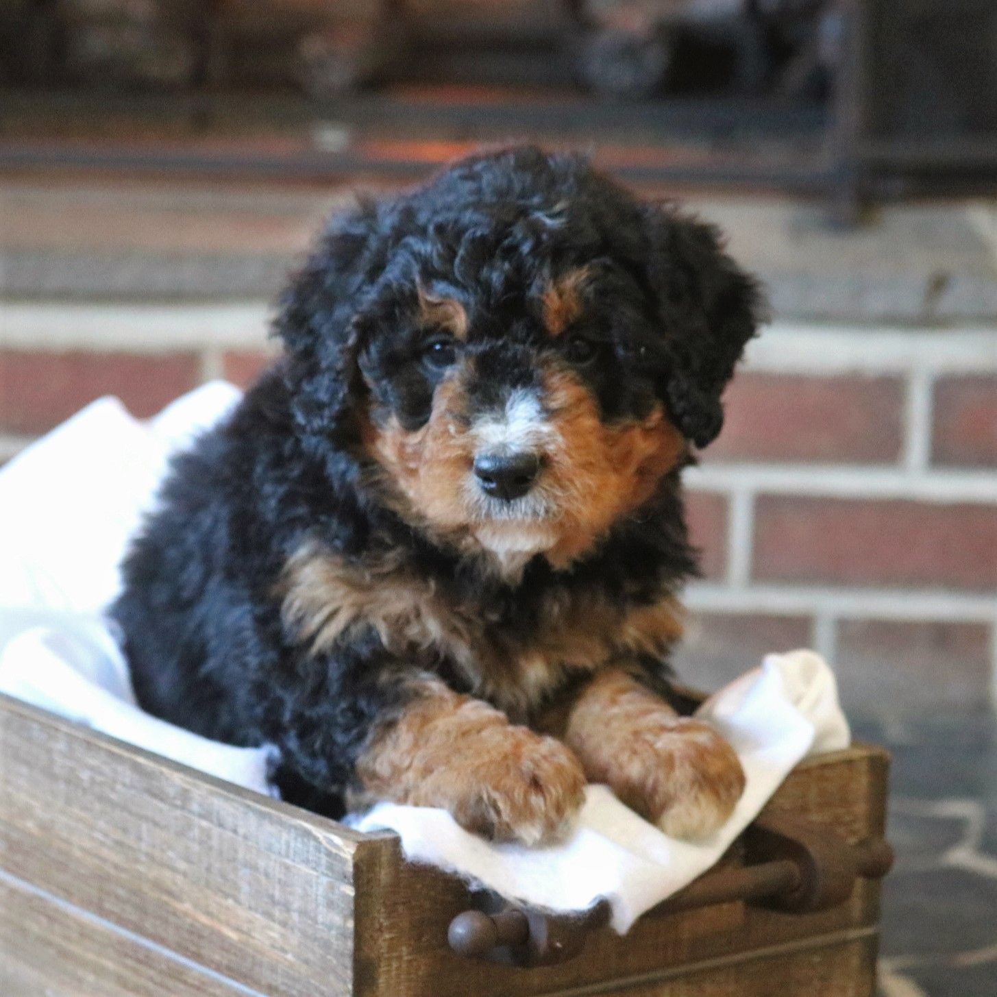 Mini Bernedoodle Puppies For Sale In 2020 Bernedoodle Puppy Mini Bernedoodle Puppies