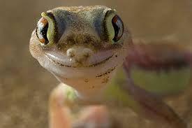 Palmato Gecko :)