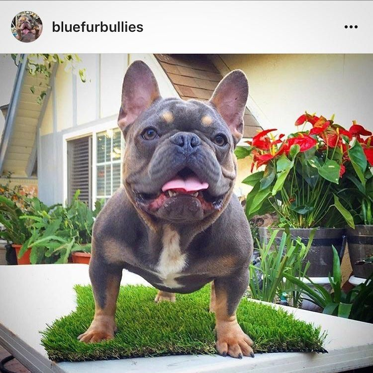 Your French Bulldog Cute animals, Bulldog frances