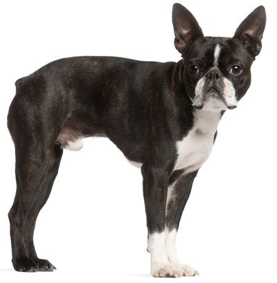 "Boston Terrier:   The Boston Terrier, also known as ""The American Gentleman,"" is enthusiastic about life and is often excitable. They are an ideal family dog, as they are adaptable, full of fun, loyal and loving."