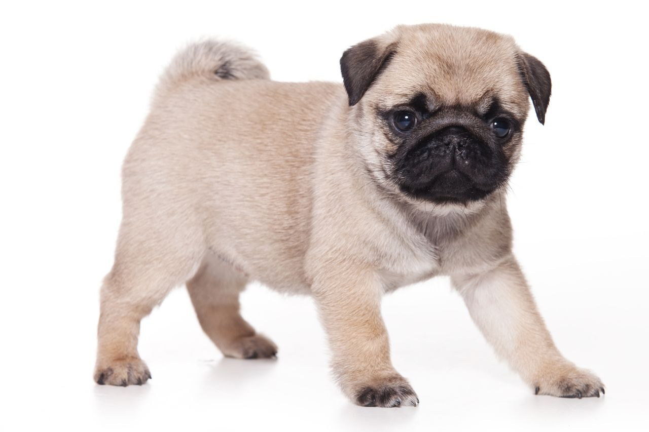 Pug Profile Care Pugs Puppies Pug Breed