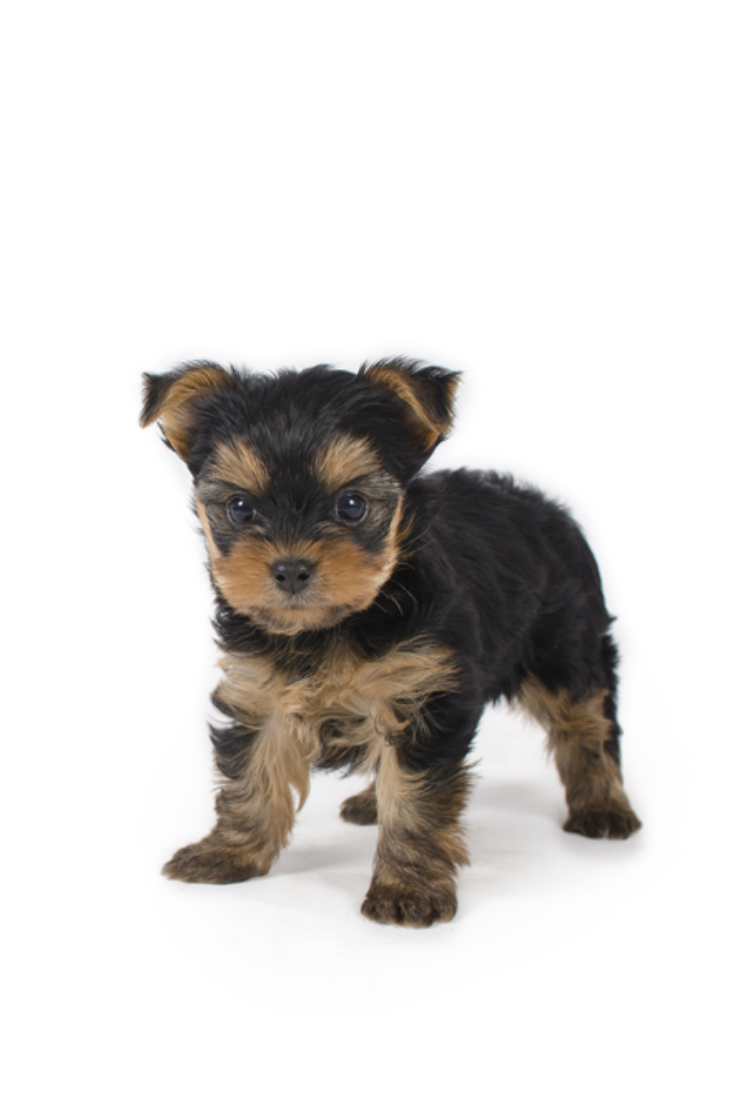 Adorable Teacup Yorkshire Terrier Puppy Yorkshireterrier In 2020 Yorkshire Terrier Puppies Yorkshire Terrier Teacup Yorkshire Terrier