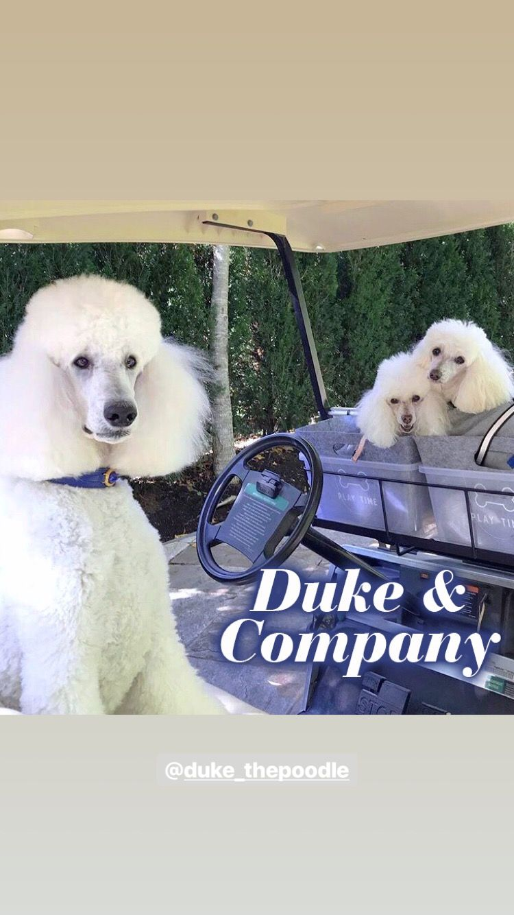 SAVE 25% on LUXURY PET PRODUCTS YOU WILL LOVE use code: MAYFLOWERS www.hartmanandrose.com This is Duke and company looking very Sporty driving around town in their golf cart. Duke is wearing the Estate collar in Cobalt Blue & Gold. Follow @duke_thepoodle. @hartmanandrose #hartmanandrose  Take the Lead & Walk in Style ❤️ Promotion until May 10, 2019 Some exceptions apply