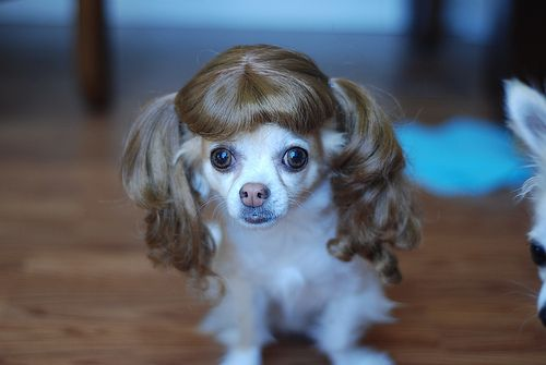 Little Dog Wearing A Wig With Images Dog With Wig Cute Dogs