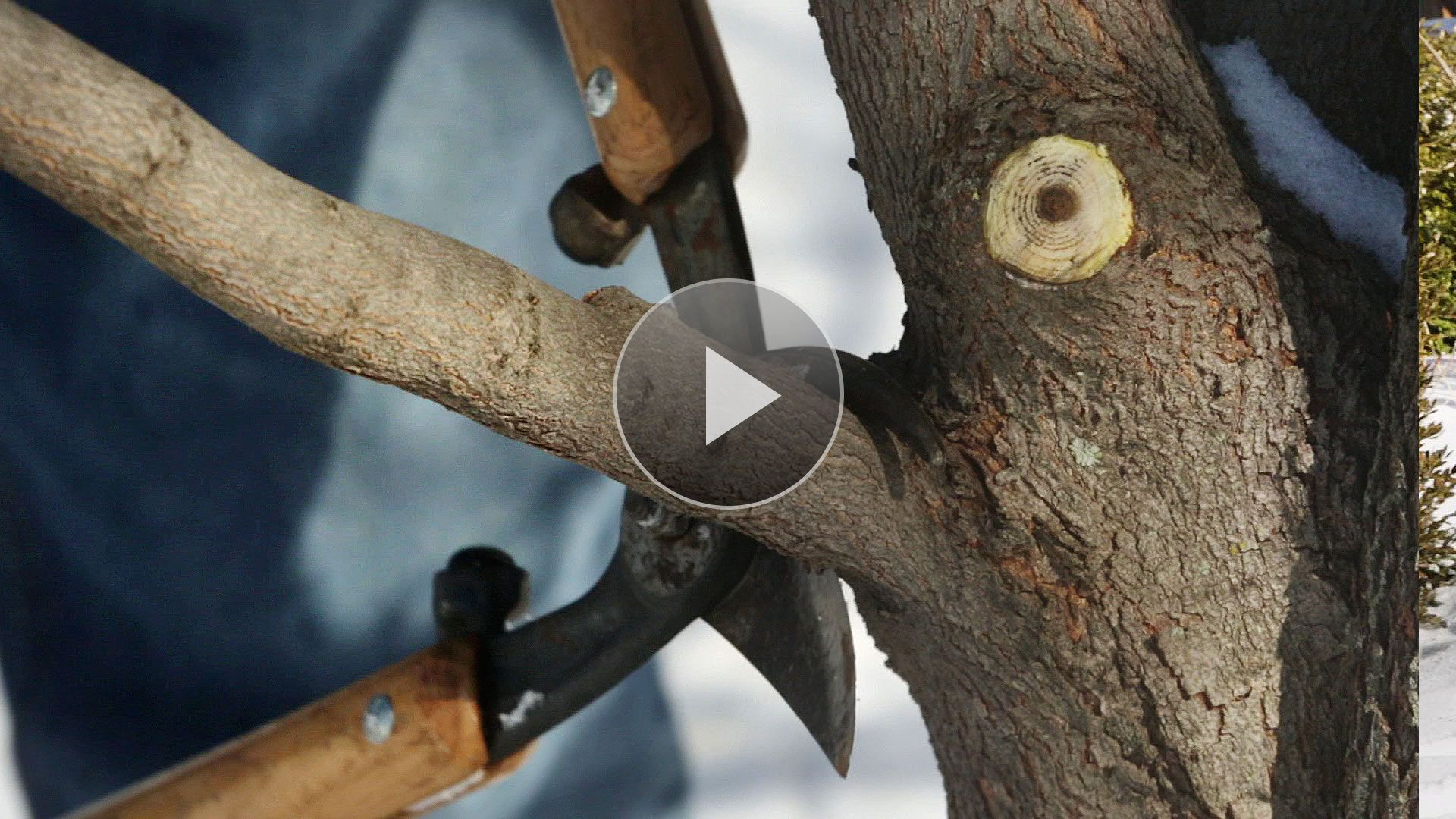 Pruning Trees Doesn T Have To Be A Difficult Task Whether You Re Pruning Fruit Trees Or Hardwoods We Show You How To Pr Prune Pruning Fruit Trees Prune Fruit