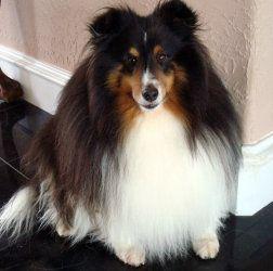 Adopt Mickey Adopted On Sheltie Shetland Sheepdog Dogs