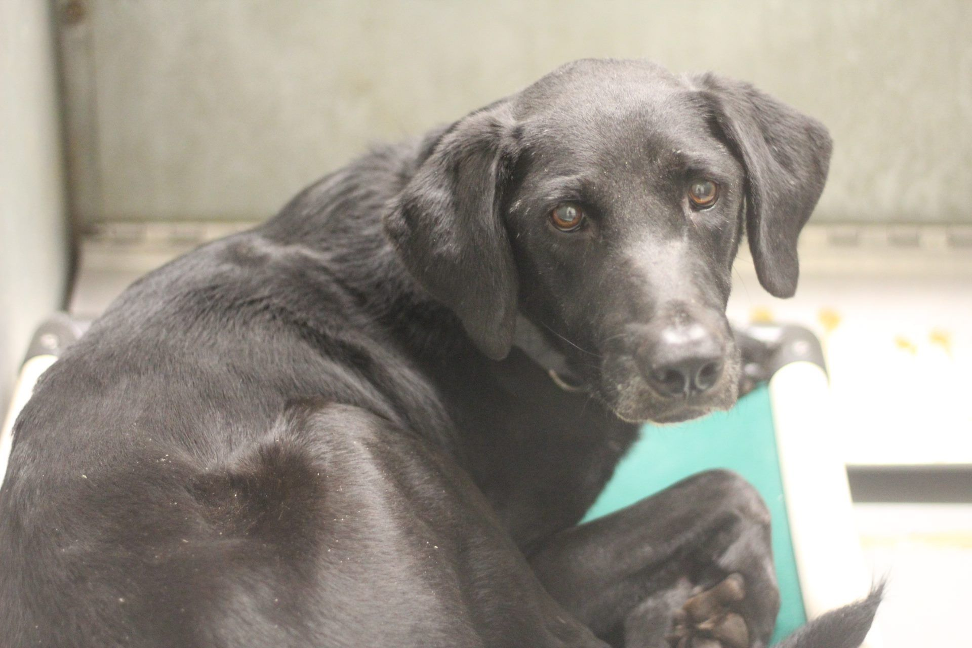 12 19 16 Conroe Tx Southeast Texas Labrador Retriever Rescue Like This Page Yesterday Avail With Images Labrador Retriever Rescue Dog Adoption Labrador Retriever