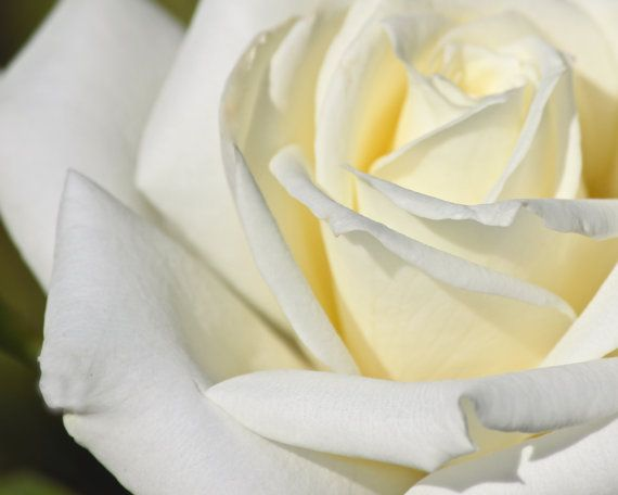 This Picture Was Taken In A Flower Garden While I Was Living In San Jose California I Loved The Creamy White Color Of This Del Rose Petals White Roses Petals