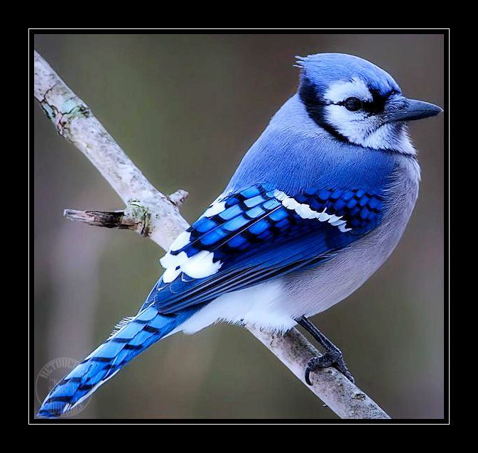 Le Geai Bleu D 39 Amerique Petit Bijou De L 39 Avifaune Geai Bleu Photo Oiseau Fond D Ecran Dessin