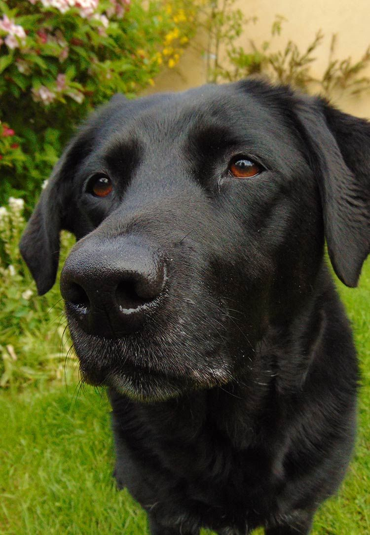 Black Lab A Complete Guide to the Black Labrador