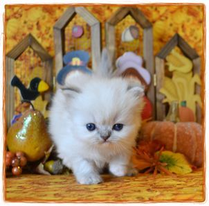 Teacup Himalayan Kittens Our Birth Announcement Page To See Other Persian Kittens For Sale Teacup Kitten Pet Announcement Persian Kittens
