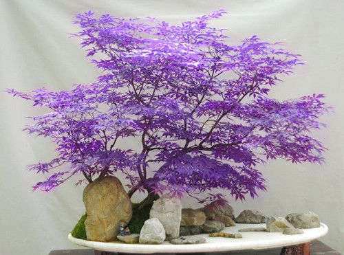 japanese blue maple bonsai - Google Search