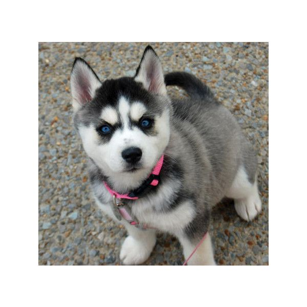 Violet The Siberian Husky Liked On Polyvore Featuring Animals