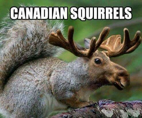 Funny Reindeer Meme : Canadian squirrel squirrels pinterest squirrel squirrel memes