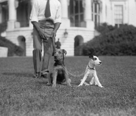 1923 Photograph Of Airedale Paul Pry Terrier Peter Pan