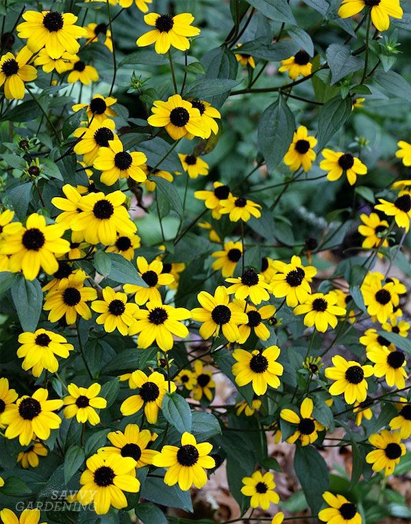 Rudbeckias are powerhouse perennial plants for your garden flower rudbeckias are hardy flowering perennials and so many varieties too full sun low water mightylinksfo