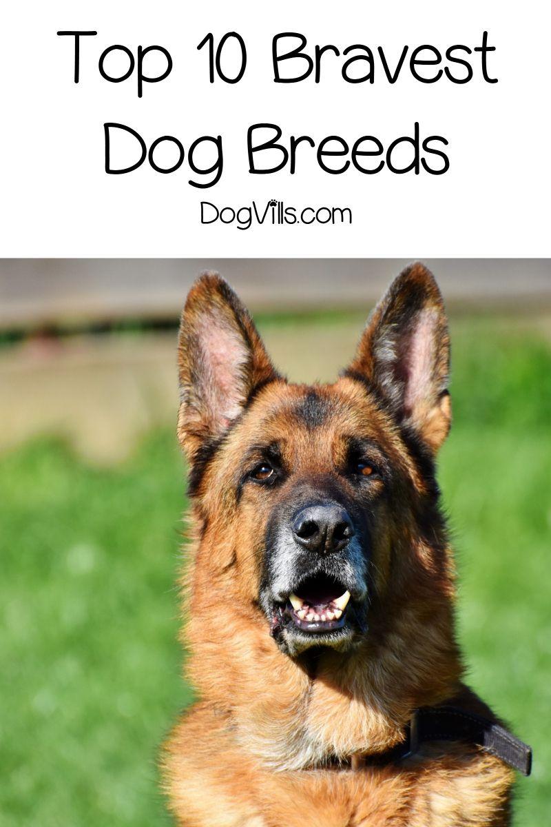 Top 10 Bravest Dog Breeds Dog names, Dog breeds, Boxer