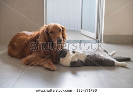 Stock Photo British Short Haired Cats And Golden Retriever Dogs
