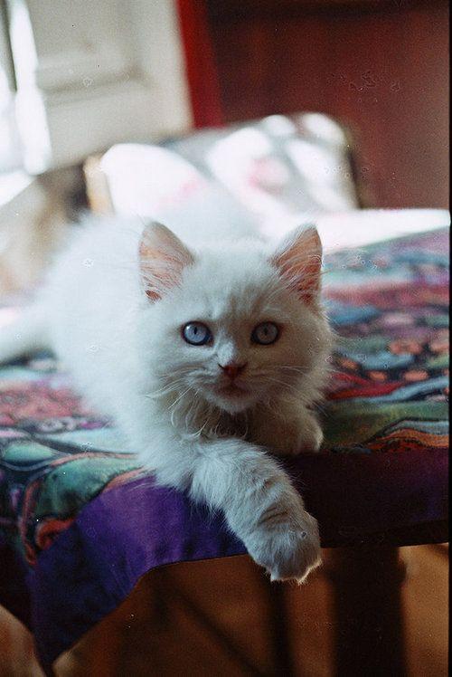 Blue eyed baby cat