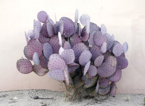 lavender cactus – surprisingly pretty! makes us want to track down some lavender-hued eyeshadow...