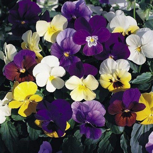 50 Pansy Swiss Giant Velvet Mix Flower Seeds Flower Seeds Pansies Flowers Pansies