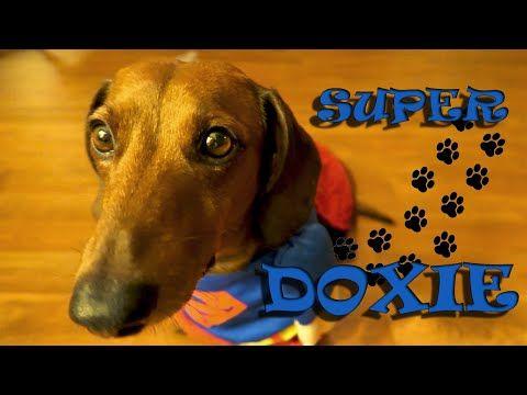 videos youtube dachshund dastardly and funny dachshund videos