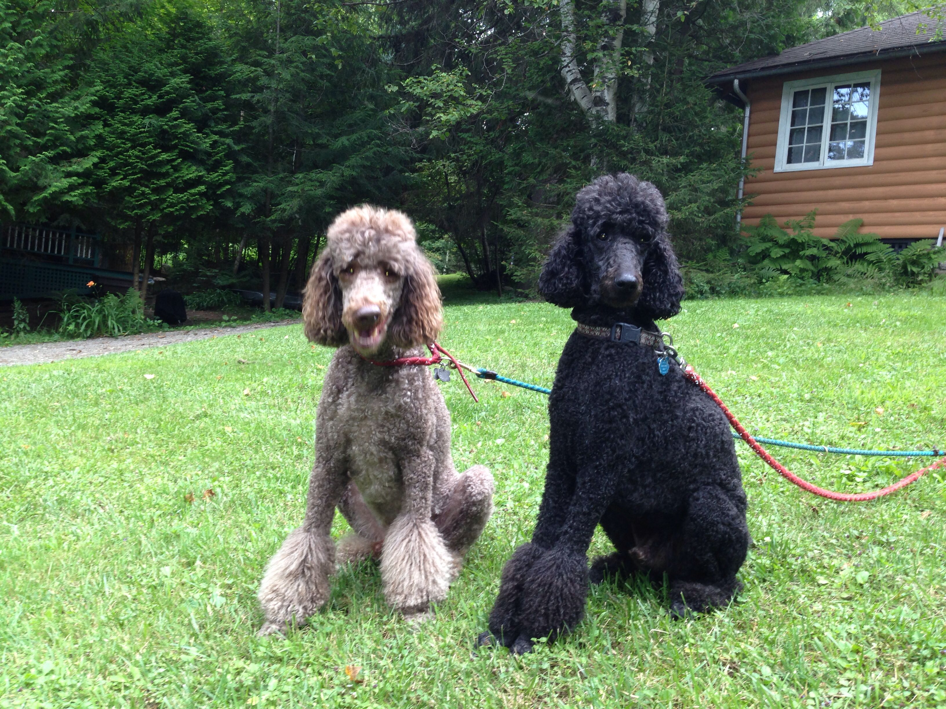 Shane And Marley My Standard Poodles Compare Dog Food Poodle